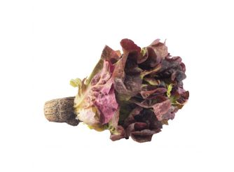 Aqua Farm Red Oakleaf Lettuce